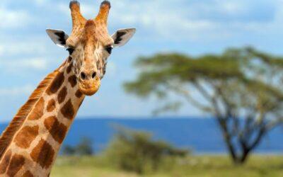 Cinque cose che non hai mai saputo sulla giraffa